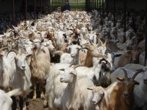 Lapte de capră